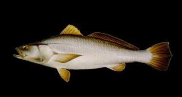 The IUCN Red List of Threatened Species: Ficha técnica de tototaba (Totoaba macdonaldi)