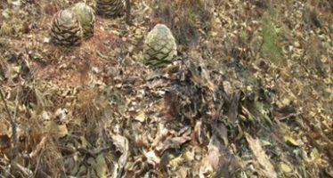 Suspende la Profepa aprovechamiento de plantas de maguey en Guerrero