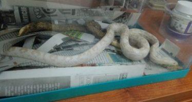 Mamíferos y reptiles recuperados en Querétaro, remitidos a Unidades de Manejo para la Conservación de la Vida Silvestre