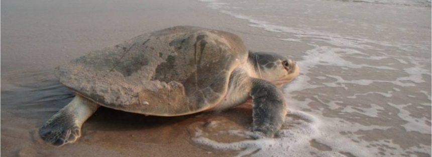 Se compromete gobierno de Tamaulipas a brindar máxima protección a la tortuga lora (Lepidochelys kempii)