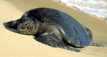 Tesoro mundial en las playas mexicanas: Tortugas marinas