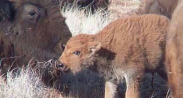 Nacen 12 crías de bisonte americano (Bison bison) en Janos, Chihuahua