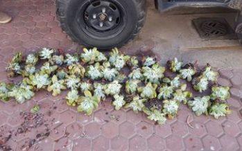 Detienen a 4 en Ensenada por extracción ilegal de 4,756 plantas endémicas (Dudleya pachyphytum) de Isla de Cedros