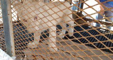 Aseguran cría de león africano (Panthera leo) en cautiverio en una casa de Monterrey