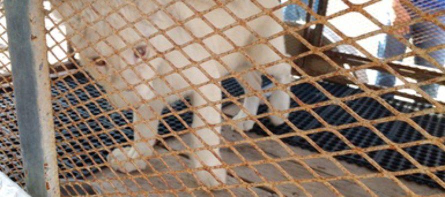 Aseguran cr a de le n africano panthera leo en for Cria de peces en cautiverio