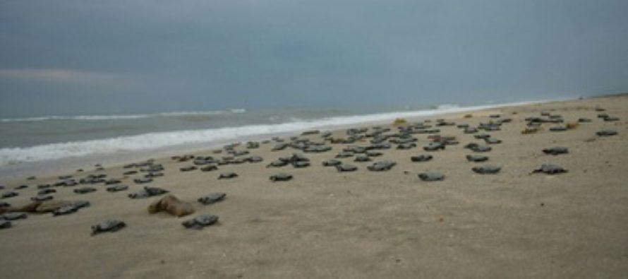 Arriban más de 13 mil tortugas golfinas (Lepidochelys olivacea) en Santuario Playa de Escobilla en Oaxaca
