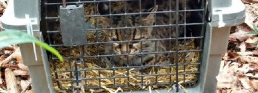 Liberan a tigrillo (Leopardus wiedii) que fue abandonado en una veterinaria de Hidalgo