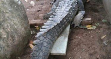 Reubican un cocodrilo de río (Crocodylus acutus) en UMA de Tapachula, Chiapas