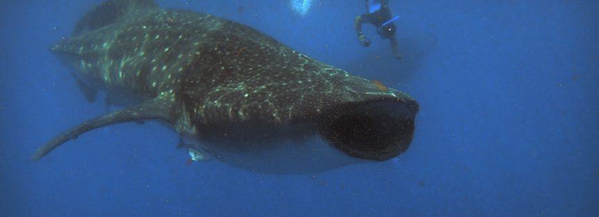 Inicia temporada de avistamiento de tiburón ballena (Rhincodon typus) en el Caribe quintanarroense