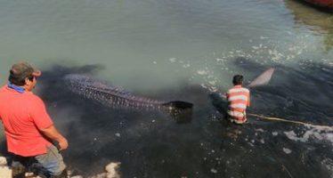 Liberan tiburón ballena (Rhincodon typus) juvenil, varado en Guaymas, Sonora