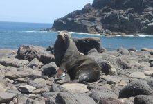 Científicos mexicanos y estadounidenses monitorean con satélite colonia de lobo fino de Guadalupe (Arctocephalus philippii towsendi)
