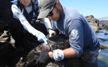 Rescatan 25 ejemplares de lobo fino de Guadalupe (Arctocephalus philippii townsendi), enredados con líneas de pesca