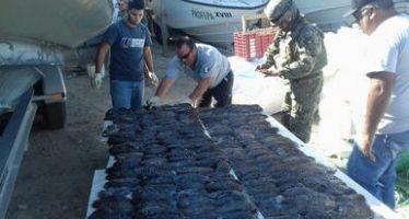 Destruye gobierno mexicano 256 ejemplares de pepino marino (Isostichopus fuscus) pescados ilegalmente en el Mar de Cortés