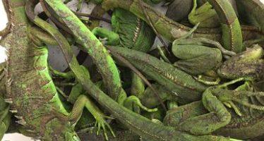 Detienen a traficante en CDMX con 172 ejemplares de tortugas, iguanas y cocodrilos procedentes de Tabasco
