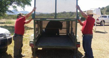 Rescatan y liberan un oso negro (Ursus americanus eremicus) que se acercó a zona habitacional de Sabinas, Coahuila