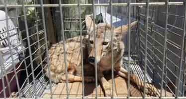 En Baja California, reintegran 8 ejemplares de la vida silvestre a su hábitat natural