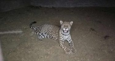 En Chihuahua, rescatan un jaguar (Phantera onca) vagabundo