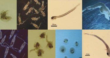 Contribución al estudio faunístico de celenterados y ctenóforos del plancton estuarino del noroeste de México