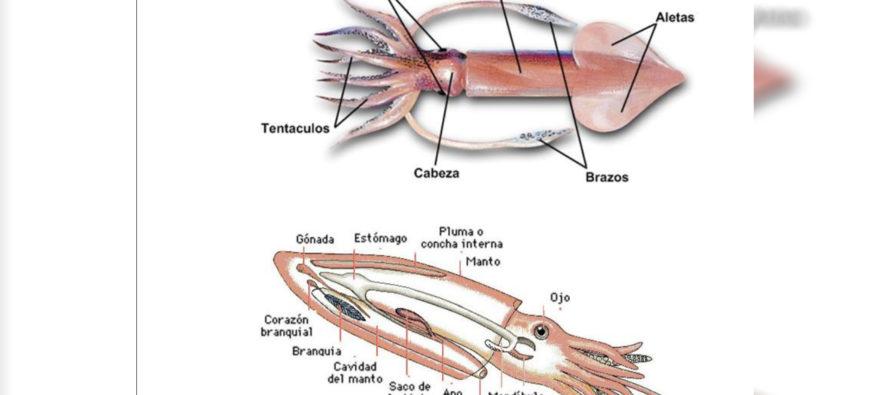 Generalidades del calamar
