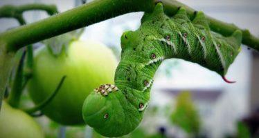 El tomate ataca a las orugas y las vuelve caníbales