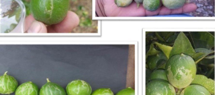 Se destinan más de 2 mdp para la erradicación de trips en cultivos de limón