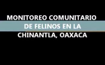 Monitoreo comunitario de felinos en la Chinantla, Oaxaca