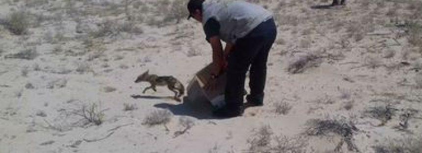 Es rescatado y reintegrado a la vida silvestre un ejemplar de Coyote (Canis Latrans)