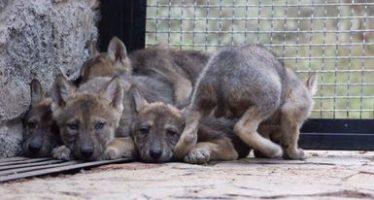 Se registra el nacimiento de diez crías de lobo