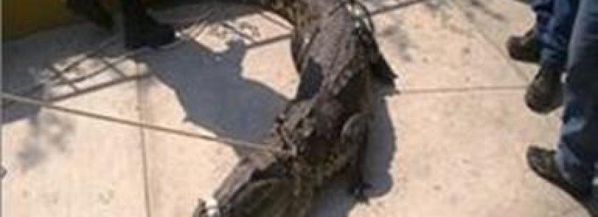 Son rescatados y reubicados 8 ejemplares de cocodrilo en tabasco