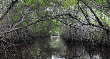 Hoy se celebra el Día Mundial de Protección del Ecosistema de Manglar