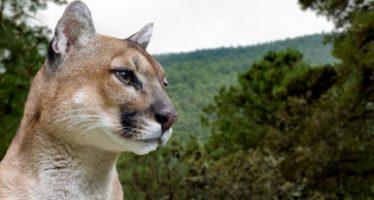 En Hidalgo despliegan acciones para la protección del puma (Puma concolor)