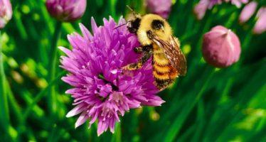 Demuestran que un insecticida común está matando a las abejas
