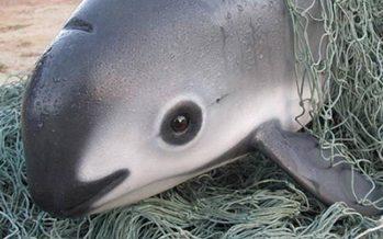 Ante inminencia de extinción de la vaquita, prohíben permanentemente redes agalleras en Alto Golfo de California