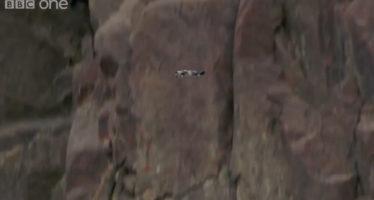 El increíble primer vuelo de un polluelo de barnacla cariblanca