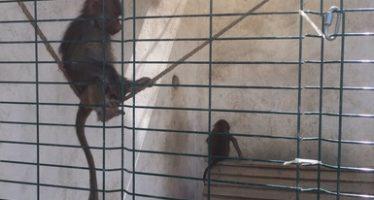 Rescatan dos papiones (Papio hamadryas) en Nuevo León por maltrato