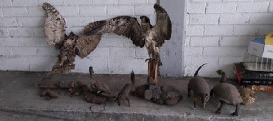 En Estado de México, decomisan 10 piezas de taxidermia… pero los grandes y verdaderos delincuentes ambientales siguen libres