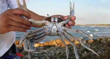 El INAPESCA evalúa estatus de la pesquería de cangrejo azul (Cardisoma guanhumi)  en Tabasco