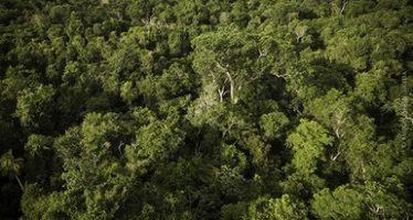 Presentan Guía complementaria para elaborar programas de manejo forestal sustentable de caoba (Swietenia macrophylla King)