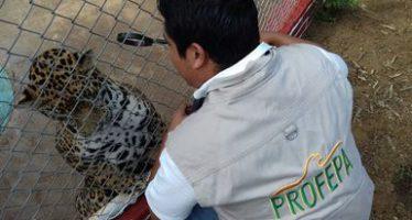 Fue asegurado un ejemplar de jaguar (Panthera onca) que se encontraba en la vía pública