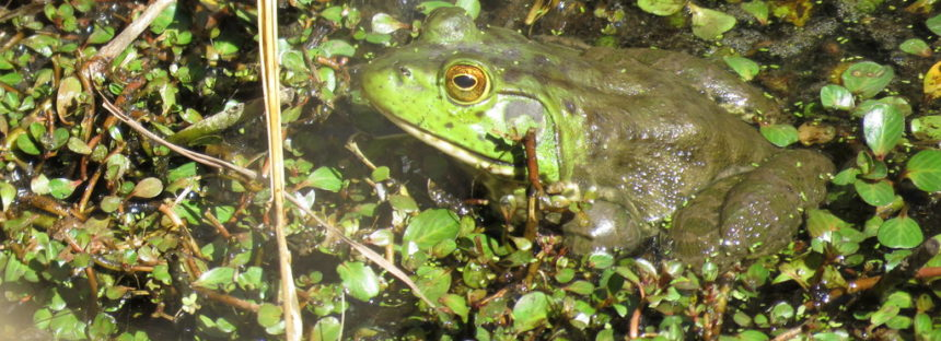 La estudiante Edith Navarro de la UABC, defiende tesis sobre la rana toro exótica (Lithobates catesbeianus)