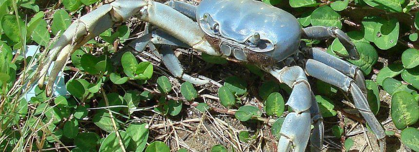 Veda a captura de cangrejo azul (Cardisoma guanhumi) en Veracruz del 15 de agosto al 30 de septiembre