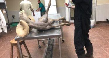 Por bronco-aspiración, muere en Mexicali, un borrego cimarrón (Ovis canadensis) rescatado por la PROFEPA