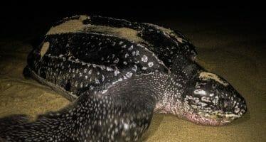 Comienza temporada de protección y vigilancia de tortuga marina en campamentos de Michoacán