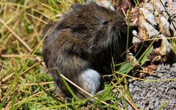 En la sierra de San Pedro Mártir, investigadores de la UABC redescubren el ratón meteoro de California (Microtus californicus)