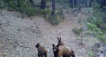 Avistan hembra de oso negro (Ursus americanus machetes) y oseznos en el APFF de Campo Verde en Chihuahua