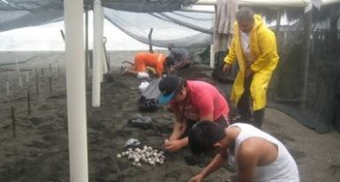 Rescatan 6,568 huevos de tortuga golfina (Lepidochelys olivácea) desenterrados por la tormenta Lidia, en Colima