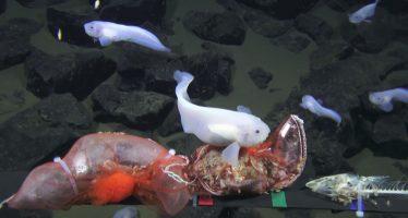 Filman a un pez a una profundidad récord en la fosa de las Marianas