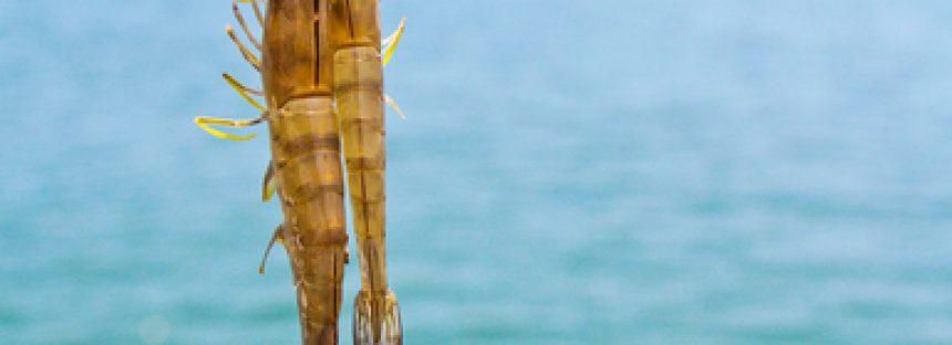 Levanta México veda y comienza temporada para captura de camarón en sistemas lagunarios del Océano Pacífico