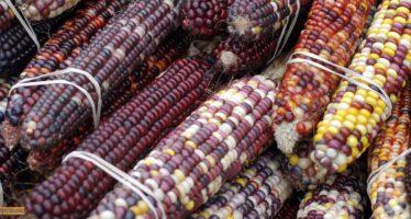 ¡Brutal y alarmante! 90 por ciento de la tortilla consumida en México es de maíz transgénico, documenta investigadora de la UNAM