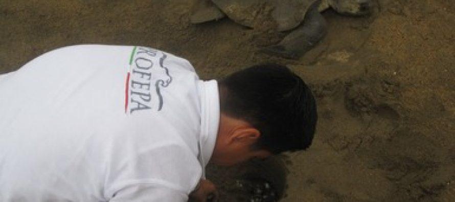 Rescatan 780 huevos de tortuga golfina (Lepidochelys olivacea) y liberan 4 cocodrilos (Crocodylus acutus) juveniles a su hábitat en Colima